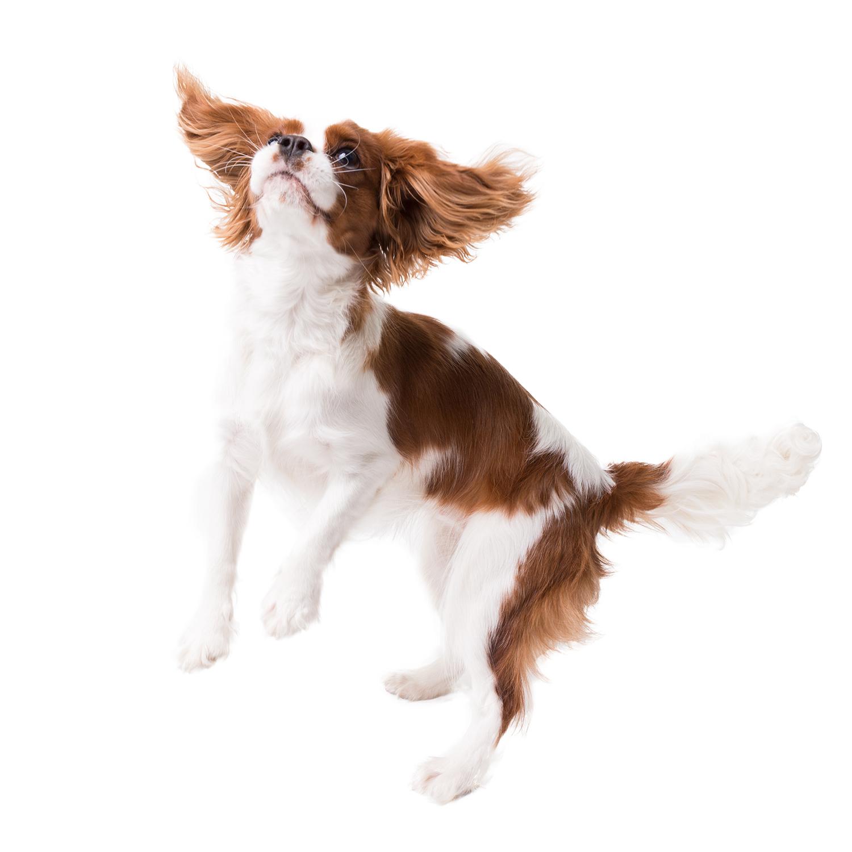 cavalier king charles spaniel jumps in studio on white background