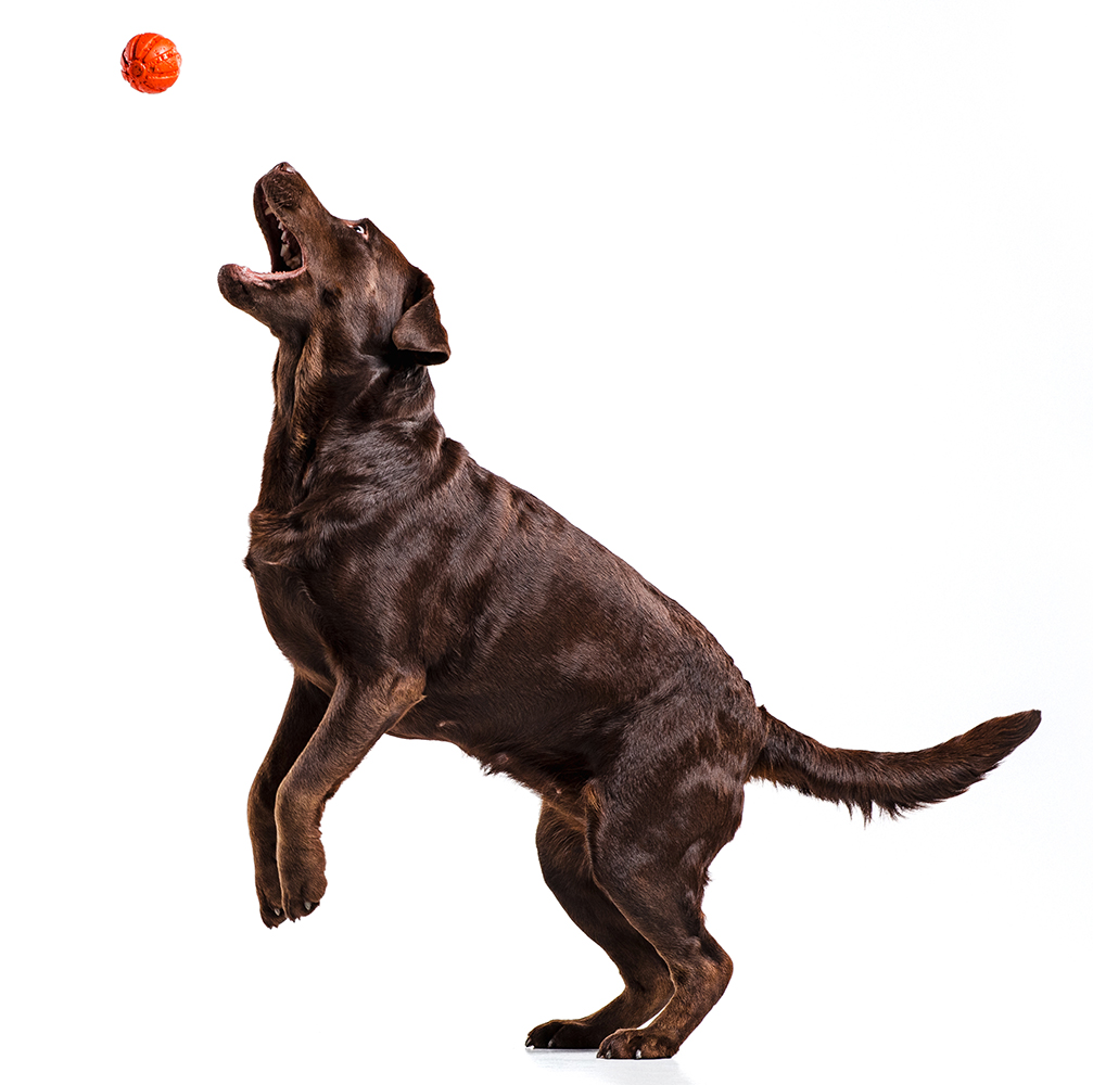 labrador dog playing with ball isolated on white