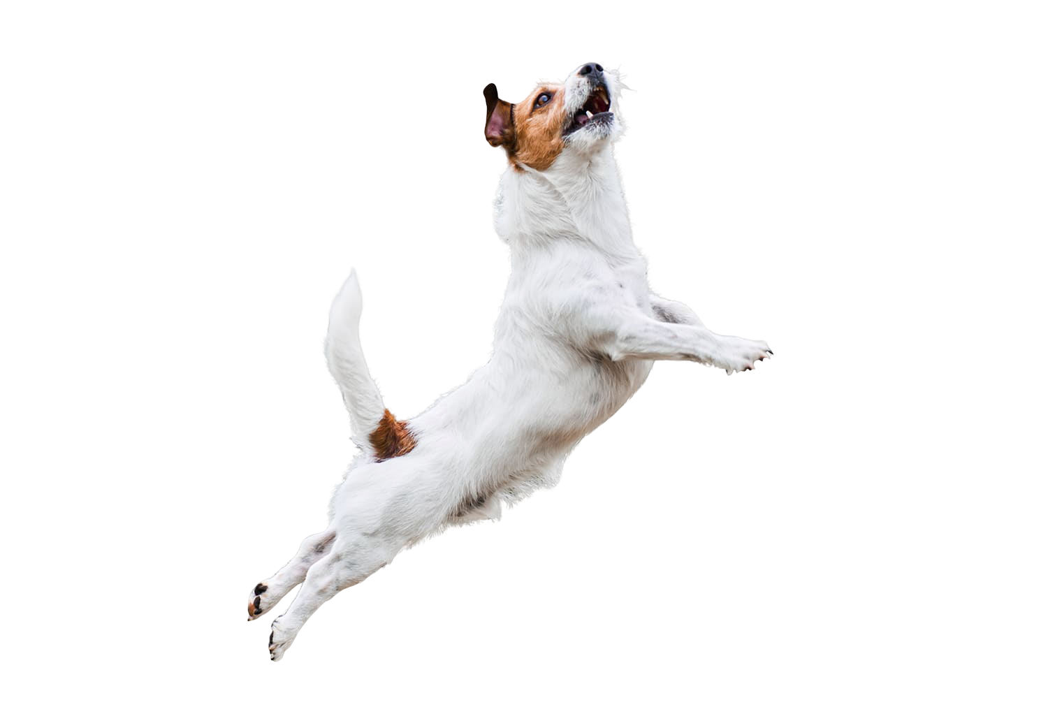 terrier-dog-isolated-on-white-jumping